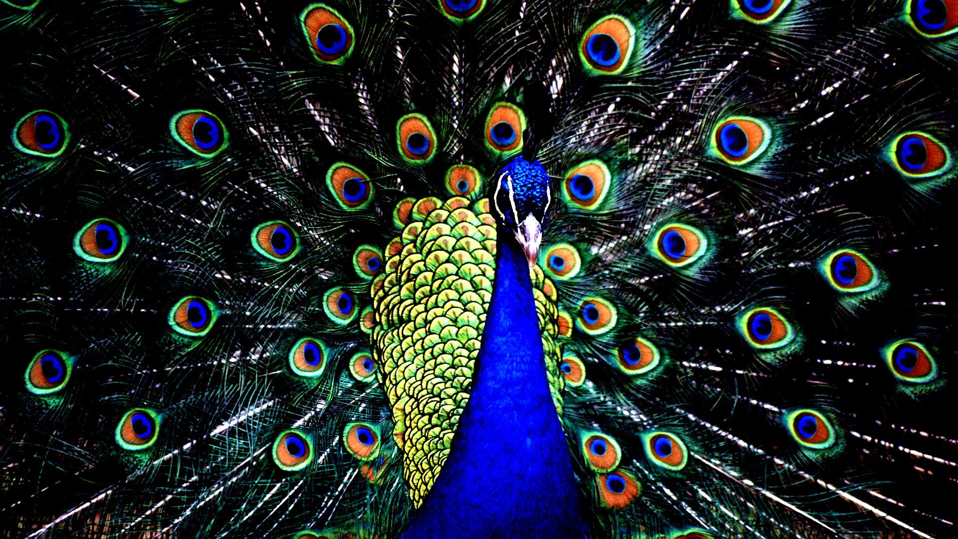 Peacock Download