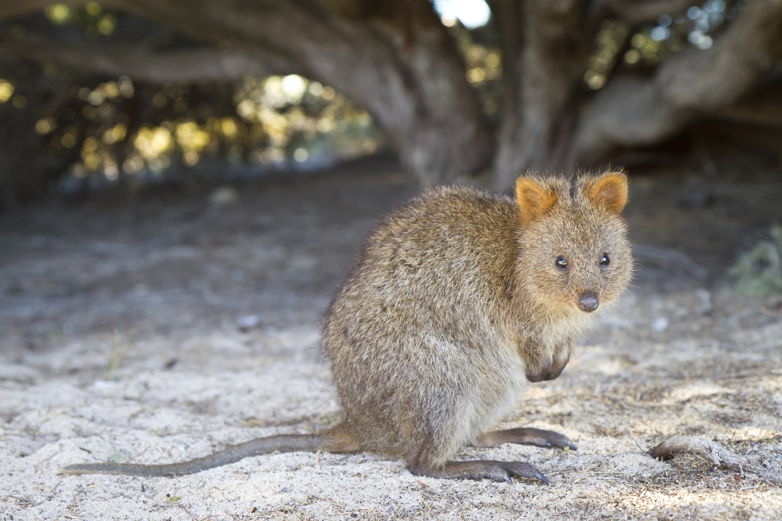 Quokka Download