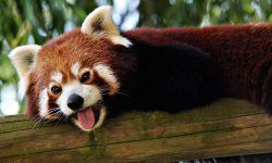 Red panda Download