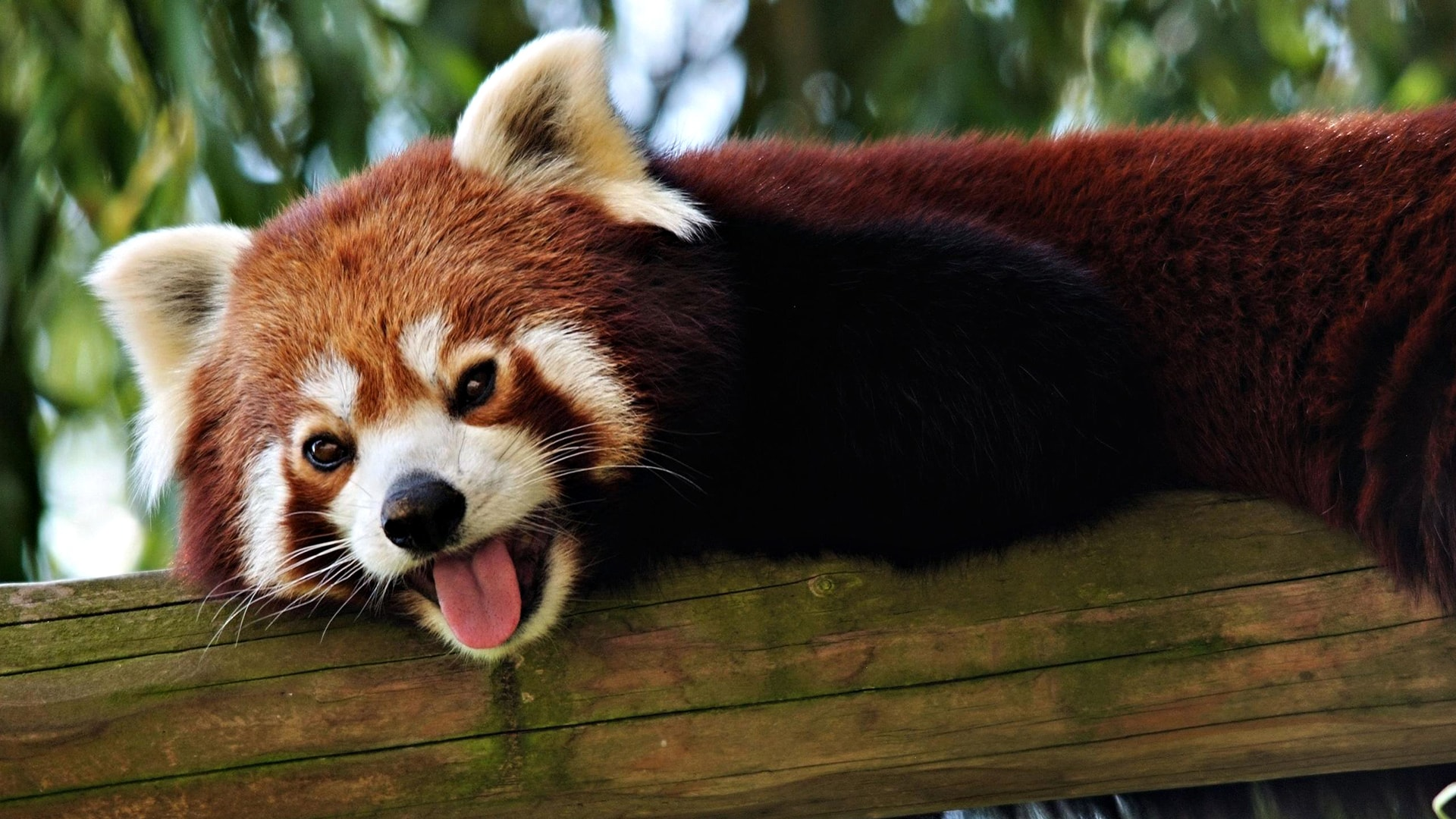 Red panda Download