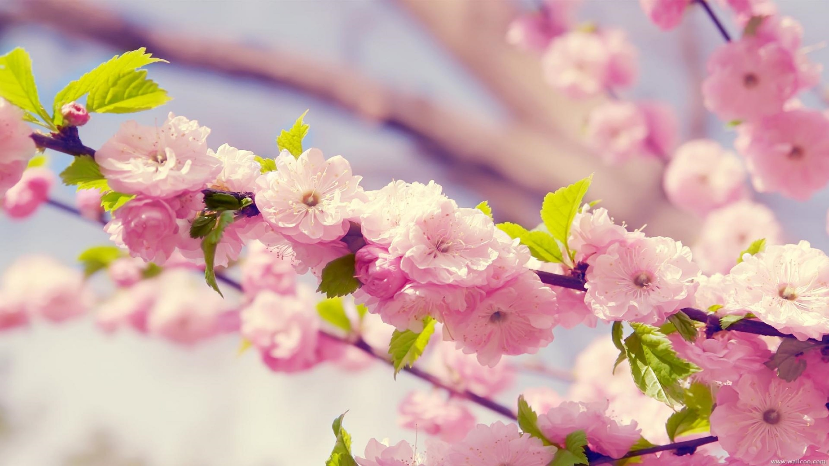 Sakura flower Download