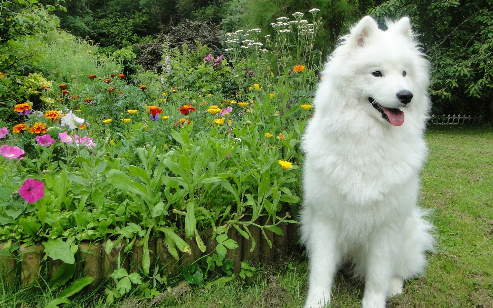 Samoyed Husky Download