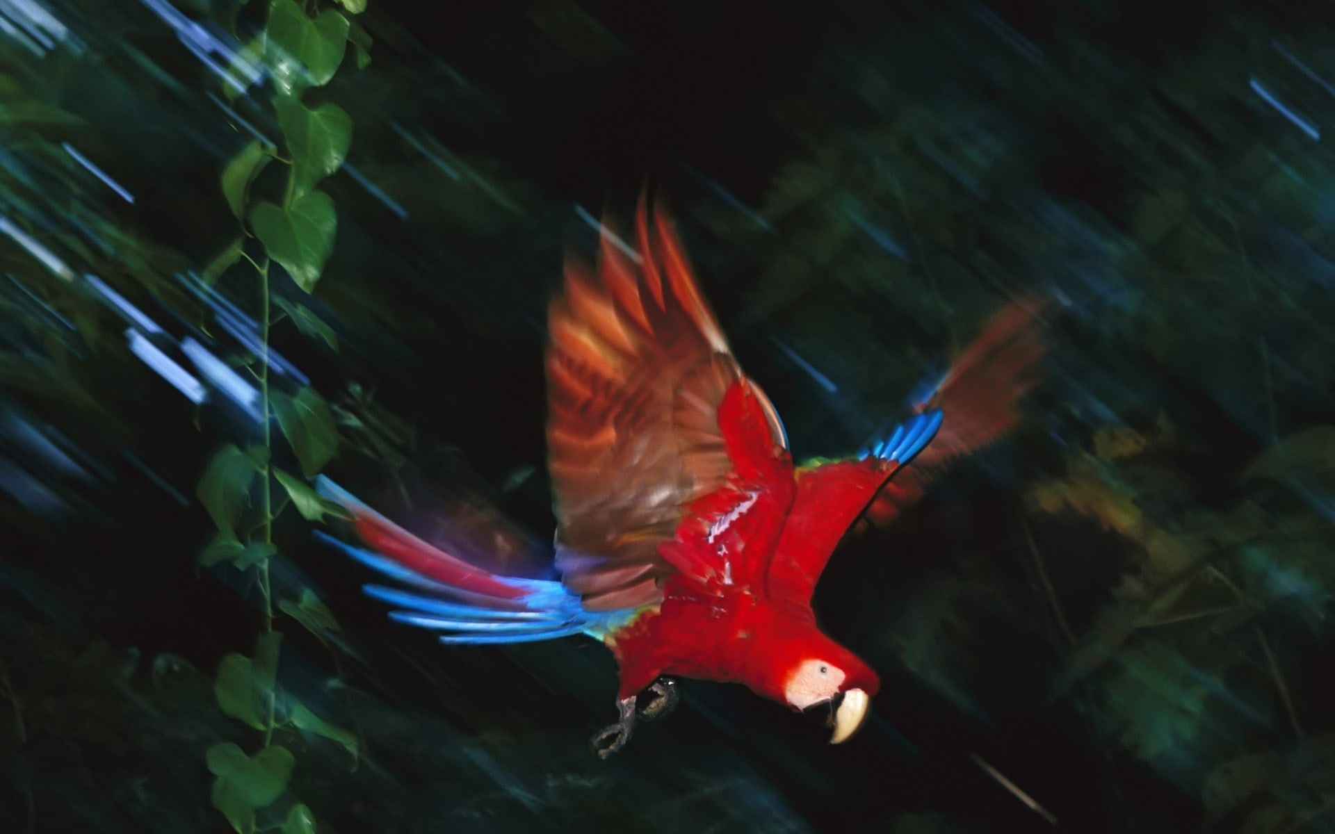 Scarlet macaw Download