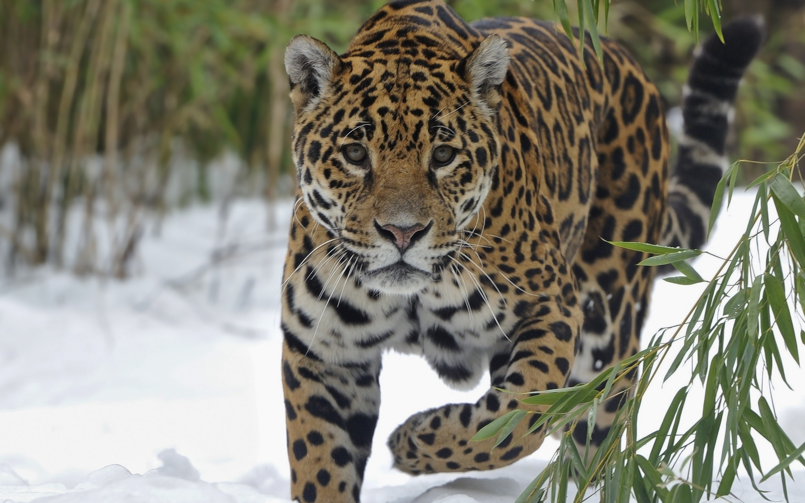 Jaguar widescreen for desktop