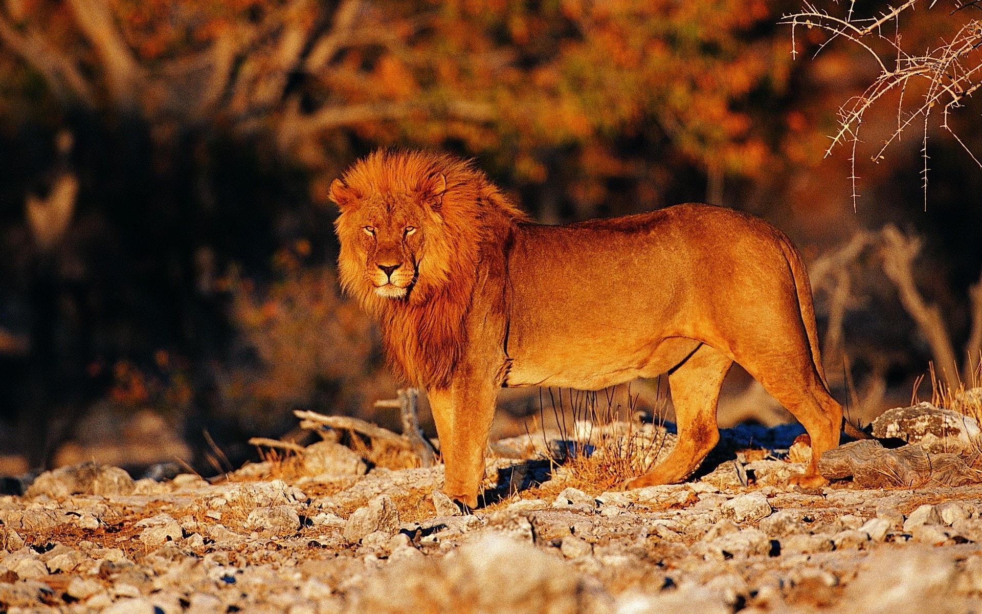Lion widescreen for desktop