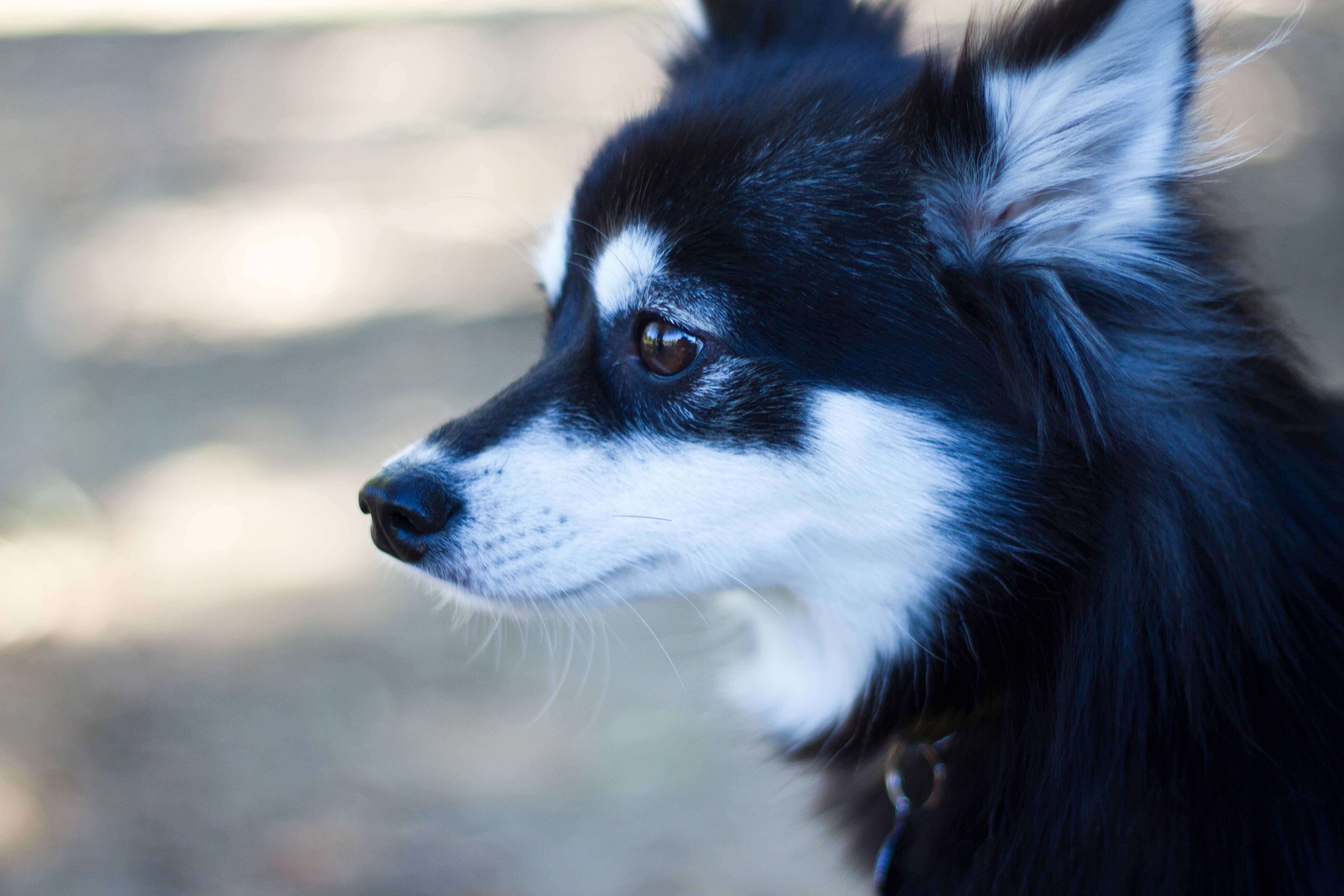 Alaskan Klee Kai Wallpapers