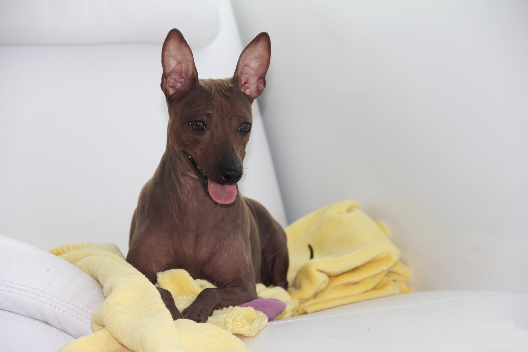 American Hairless Terrier Wallpapers