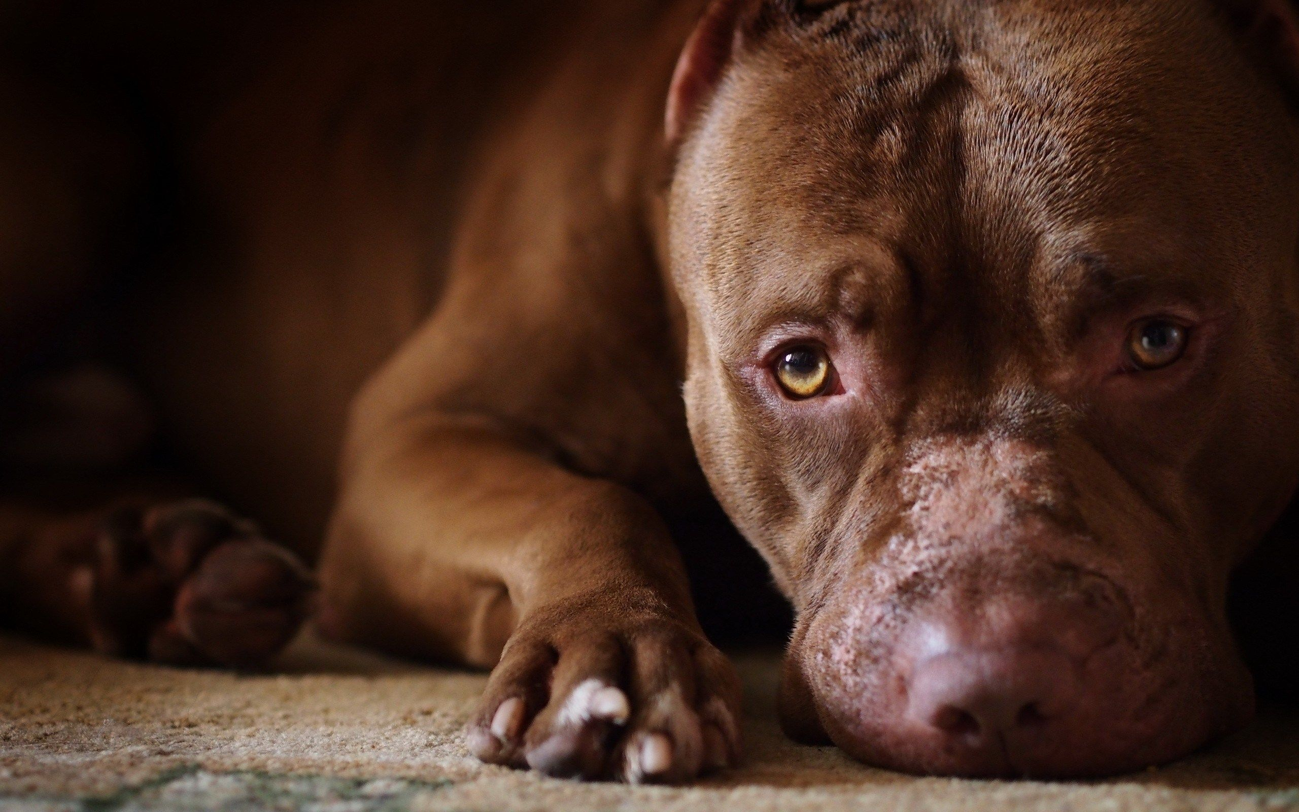 American Pit Bull Terrier Wallpapers