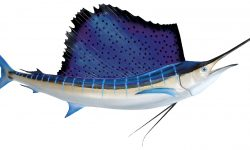 Atlantic sailfish Wallpapers