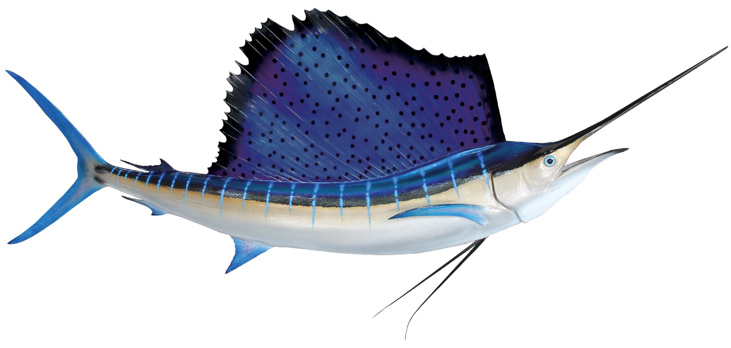 Atlantic sailfish Wallpapers