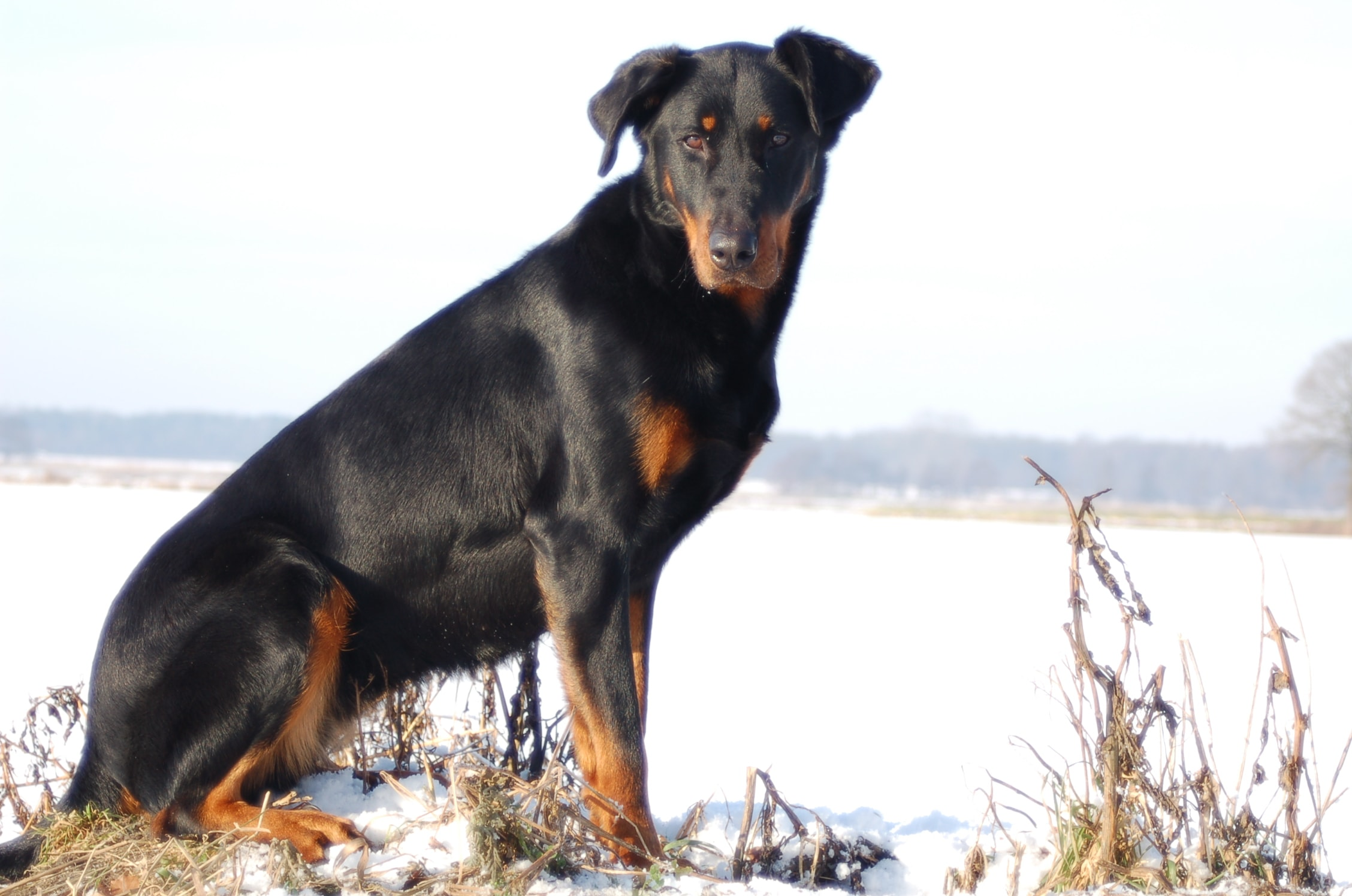 Beauceron Wallpapers