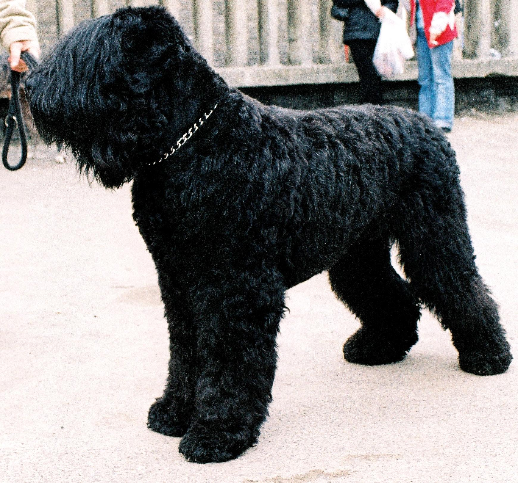 Black Russian Terrier Wallpapers
