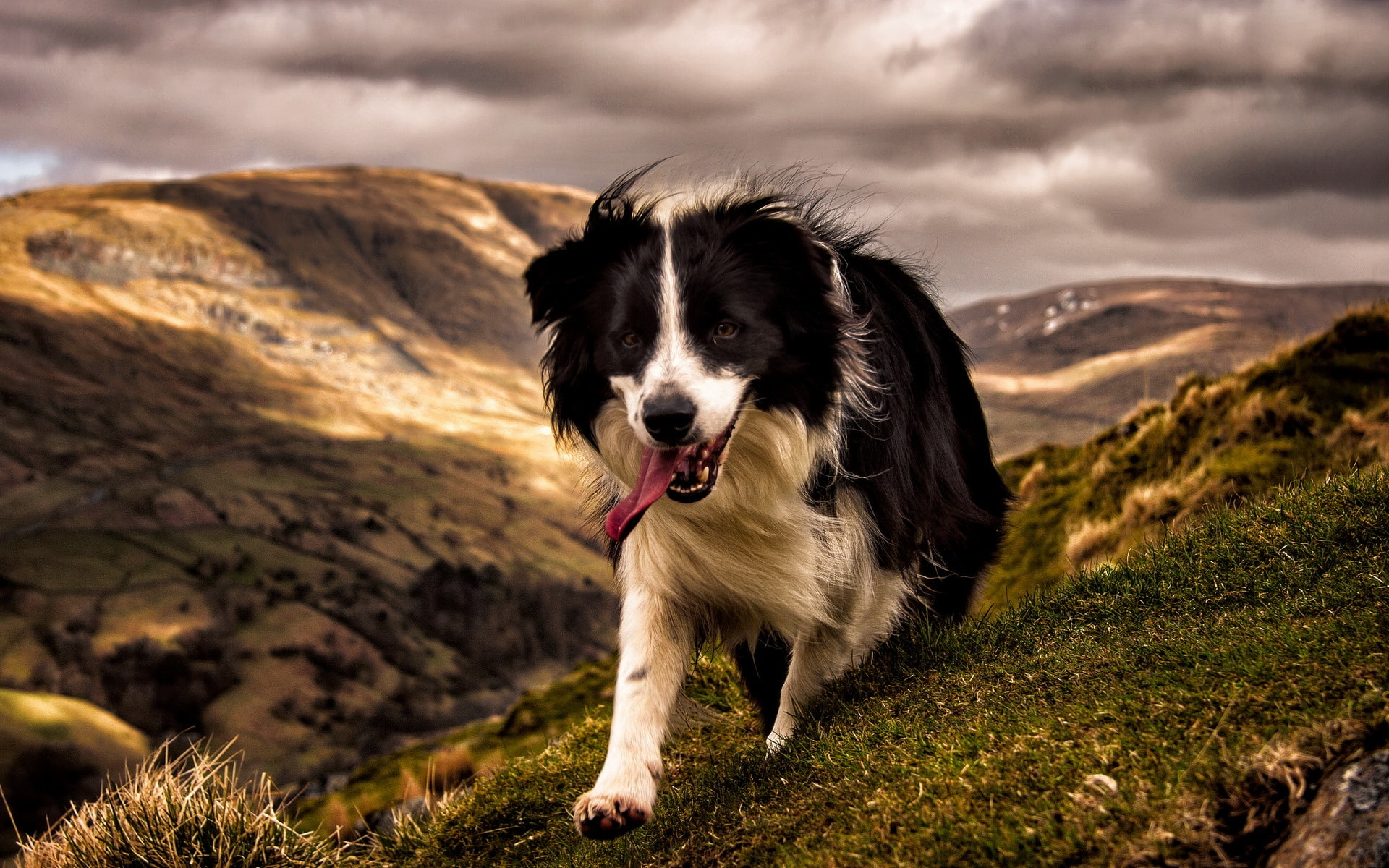 Border Collie Wallpapers
