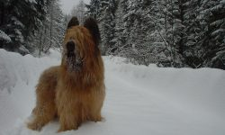 Briard Wallpapers