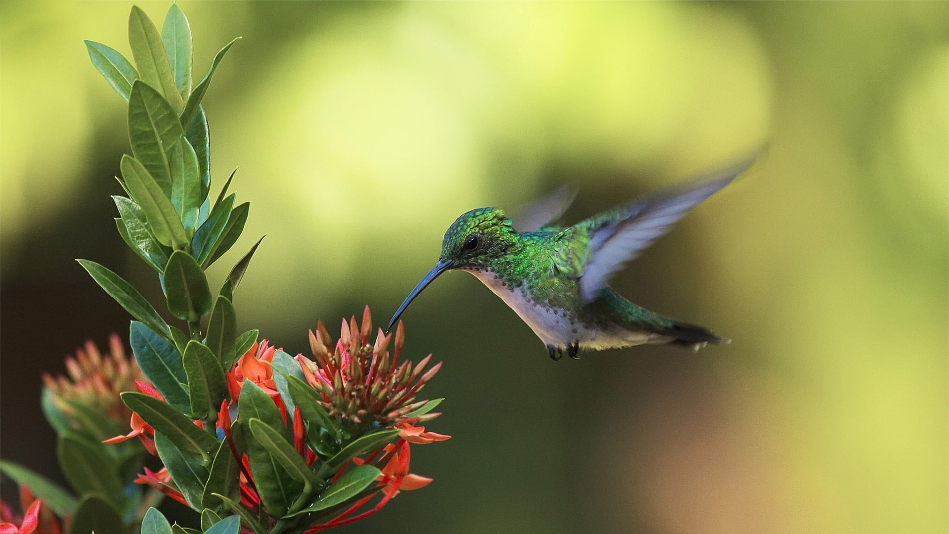 Colibri Wallpapers