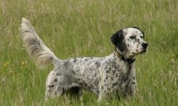 English setter Wallpapers