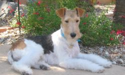 Fox Terrier Wallpapers