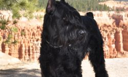 Giant Schnauzer Wallpapers
