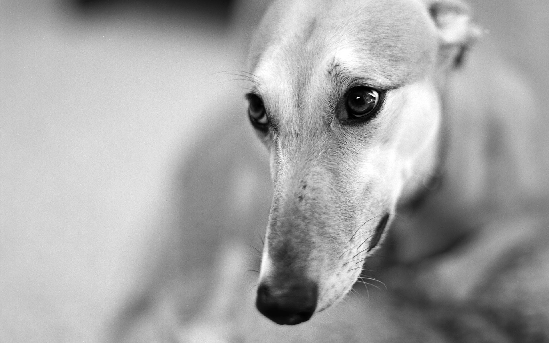 Greyhound Wallpapers