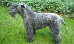 Kerry Blue Terrier Wallpapers