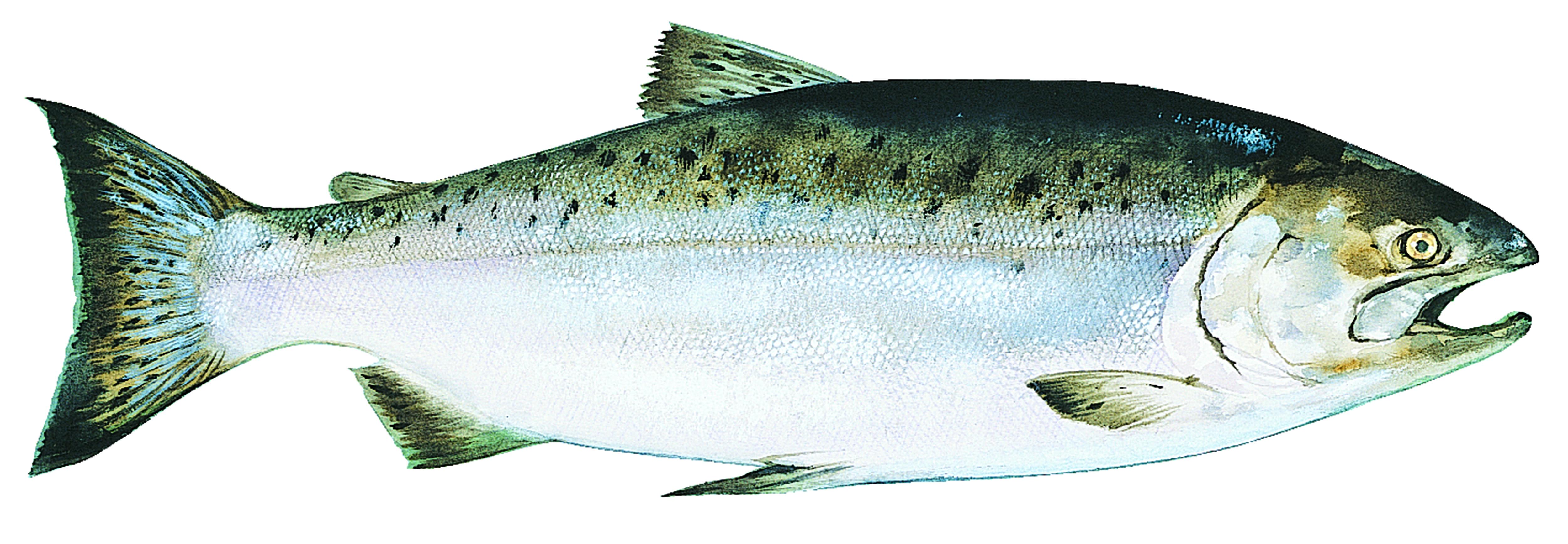 King salmon Wallpapers