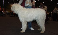 Komondor Wallpapers
