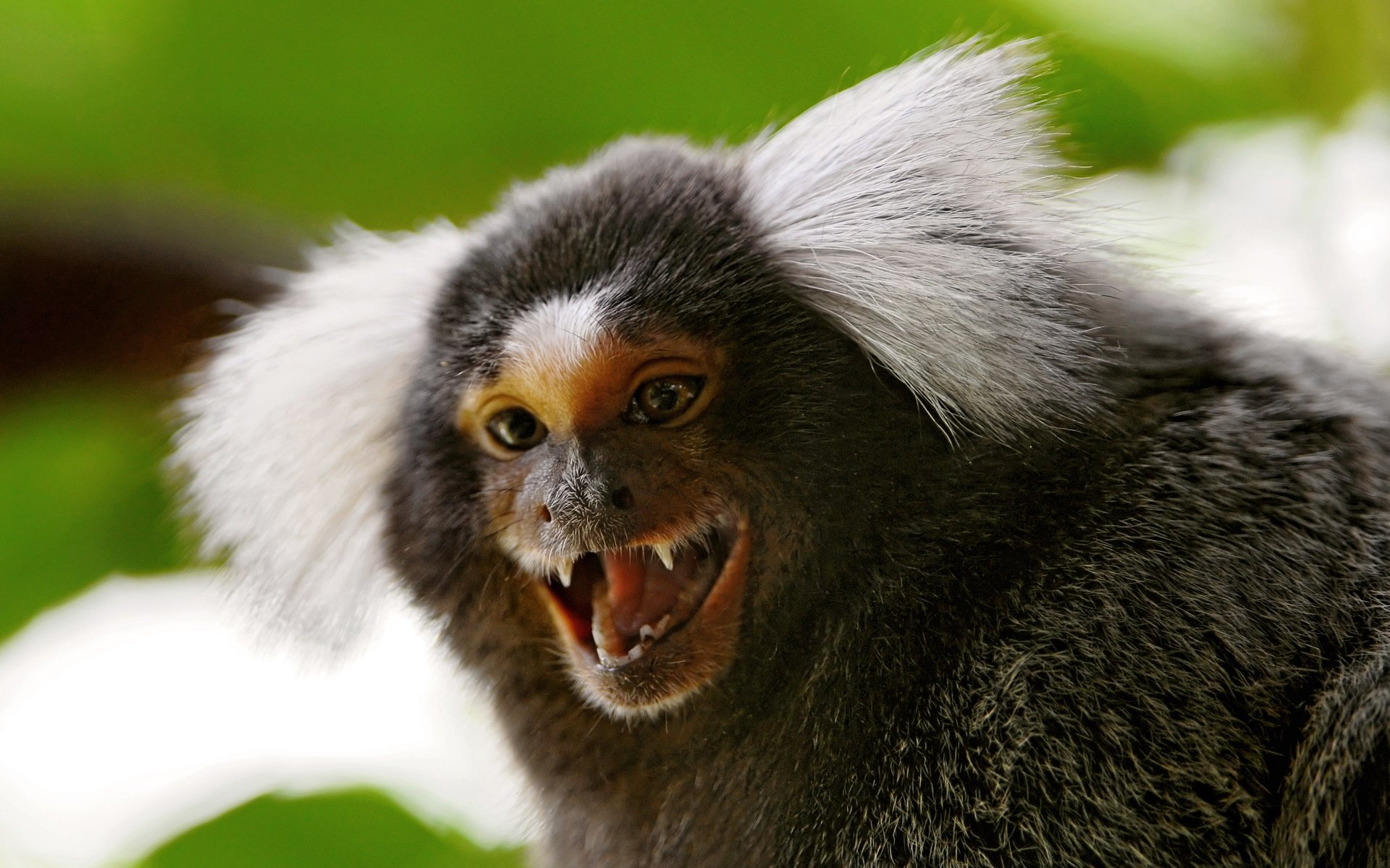 Marmoset monkey Wallpapers