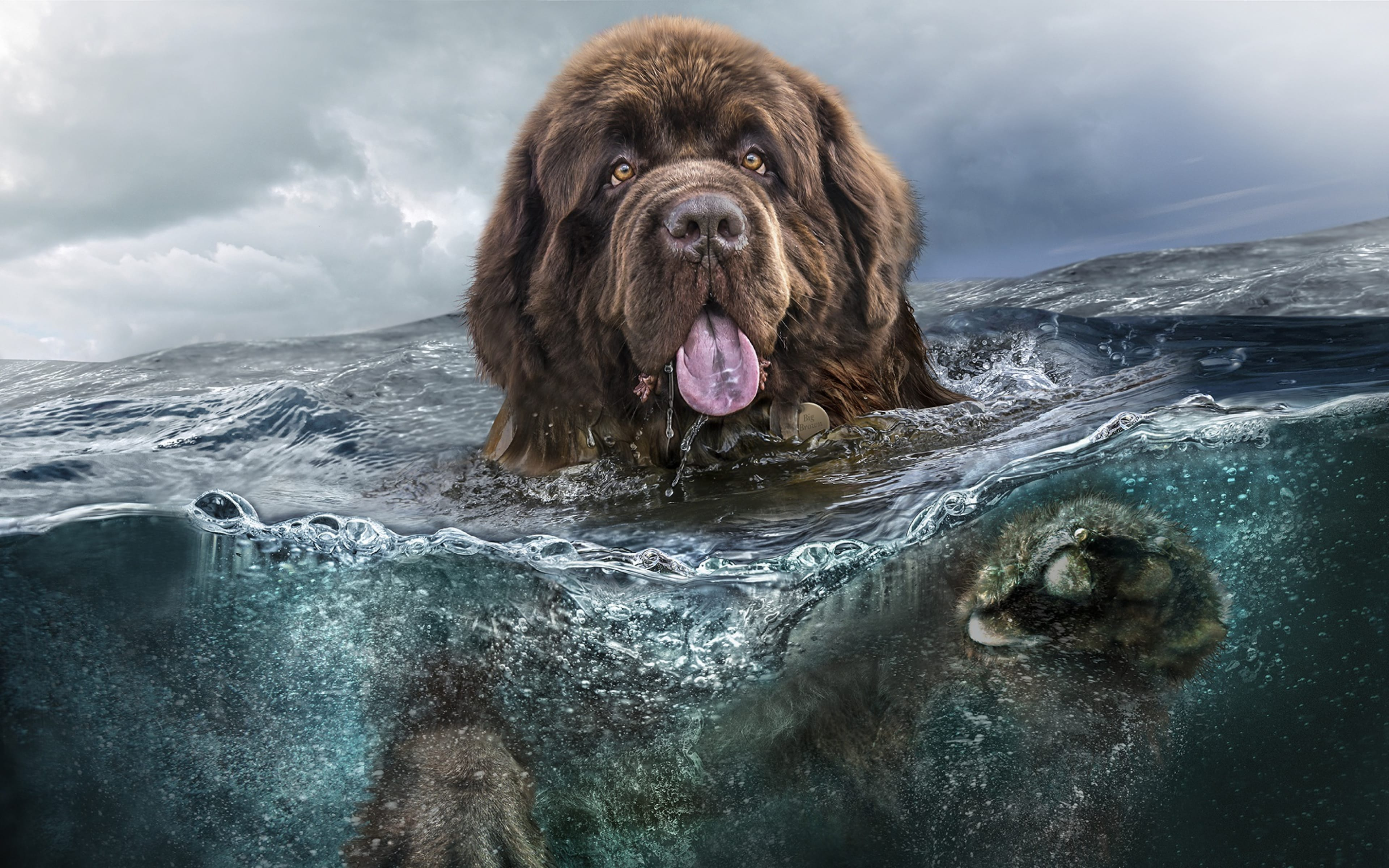 Newfoundland Dog Wallpapers