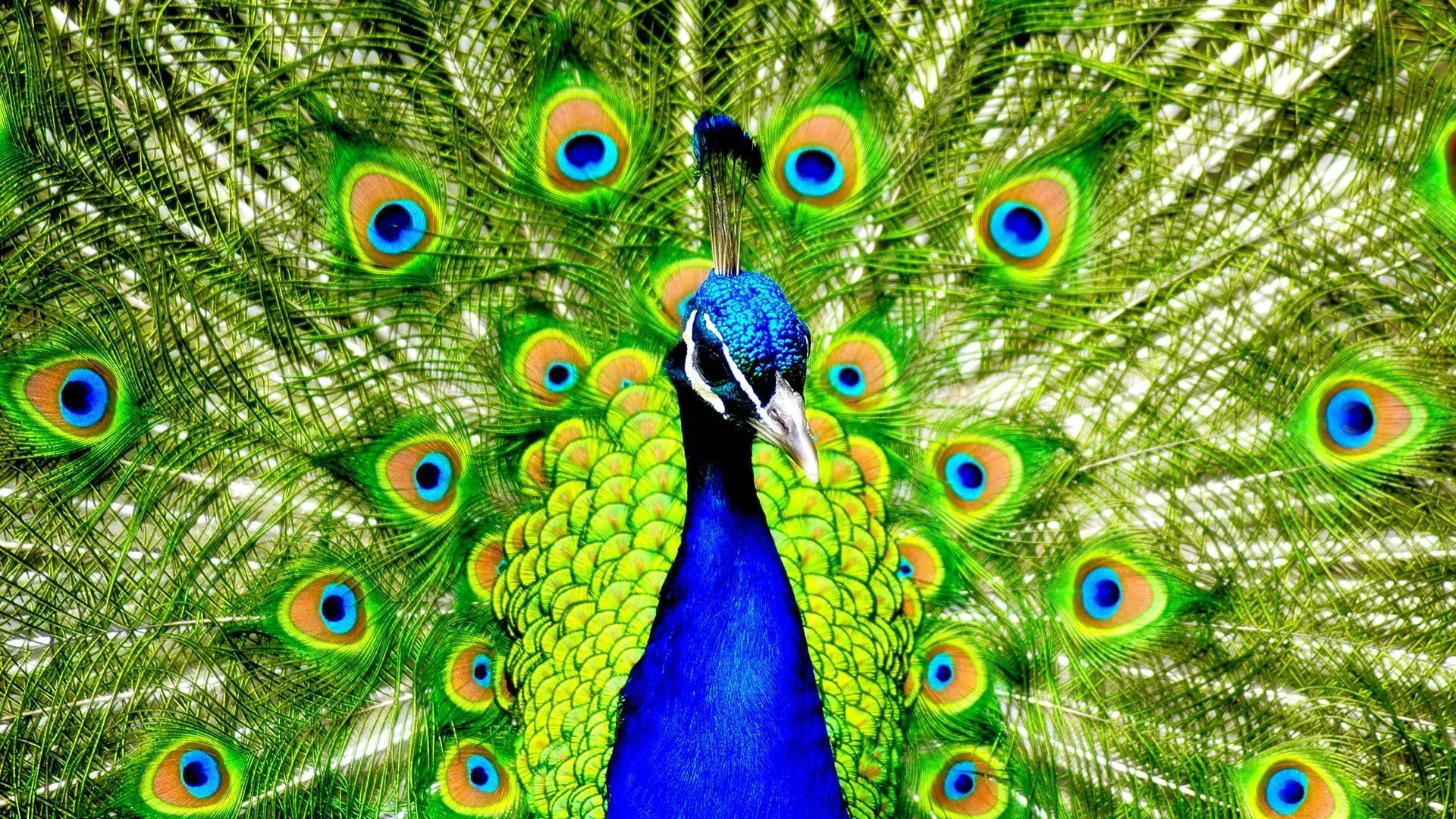 Peacock Hd Wallpapers  7Wallpapersnet-5075