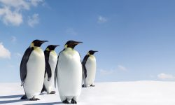Penguin Wallpapers
