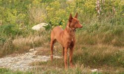 Pharaoh hound Wallpapers