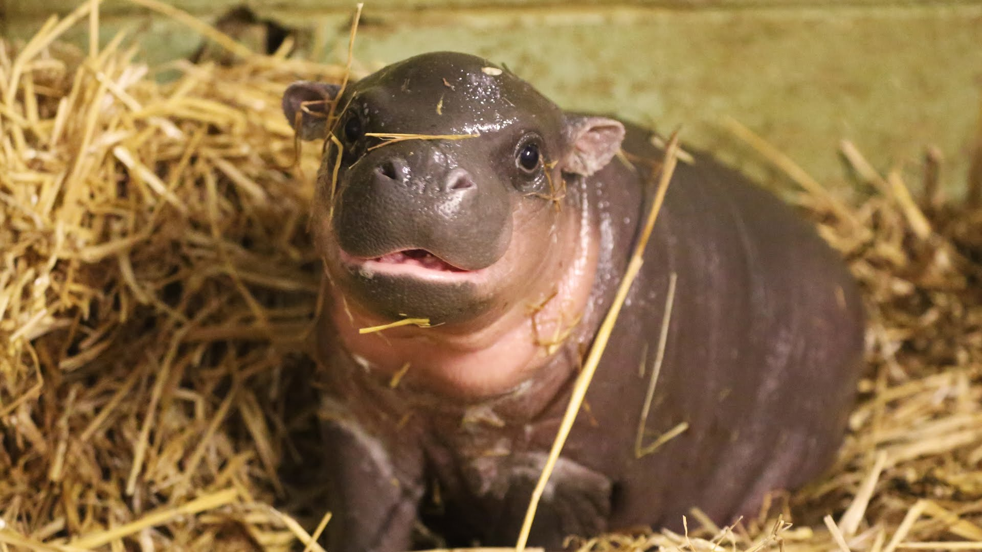 Pygmy hippopotamus Wallpapers