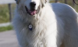 Pyrenean Mountain Dog Wallpapers