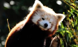 Red panda Wallpapers