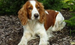 Russian Spaniel Wallpapers