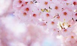 Sakura flower Wallpapers