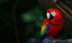 Scarlet macaw Wallpapers