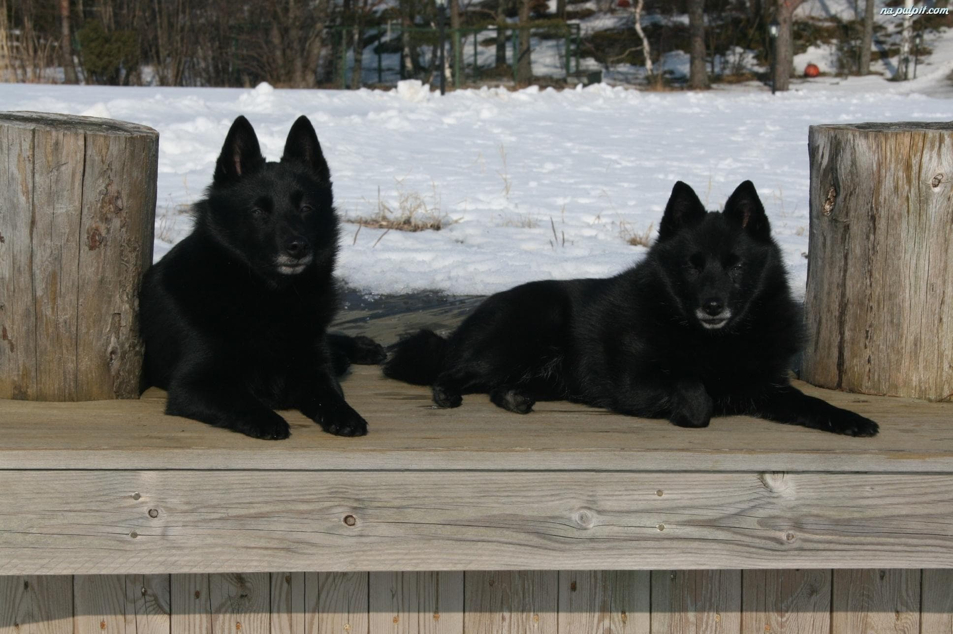 Schipperke Wallpapers