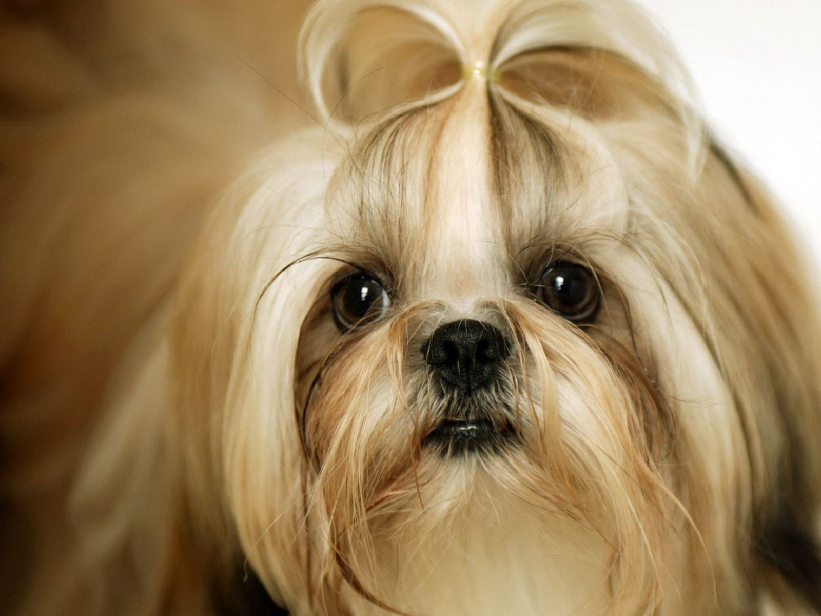 Shih Tzu Wallpapers