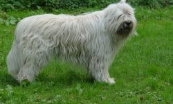 South Russian Sheepdog Wallpapers