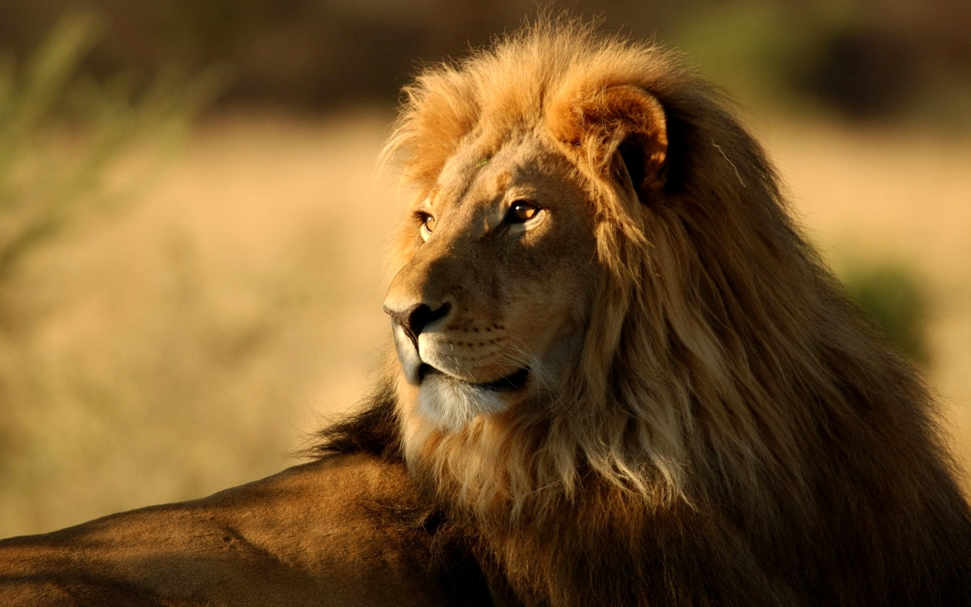 Lion HD pictures