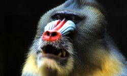 Baboon full hd wallpapers