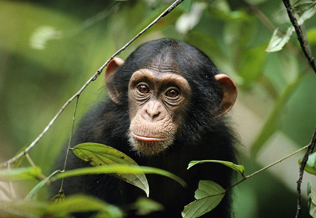 Chimpanzee full hd wallpapers