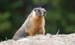 Marmot full hd wallpapers