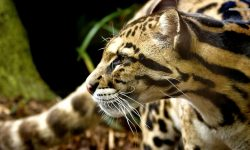 Ocelot full hd wallpapers