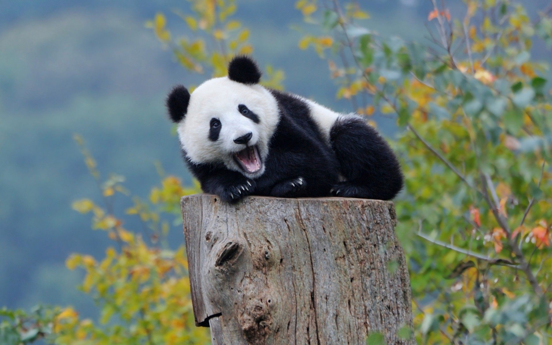 Panda Backgrounds