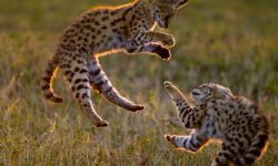 Serval full hd wallpapers