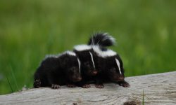Skunk widescreen wallpapers