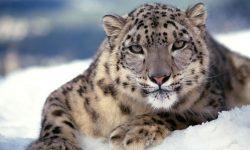 Snow Leopard full hd wallpapers