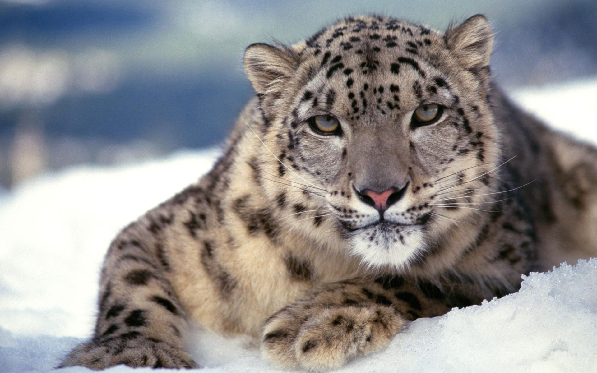 Snow Leopard full hd wallpapers